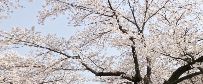 布施駅近くの満開の桜